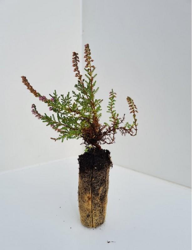 Cell Grown Calluna vulgaris - Native Wild Heather
