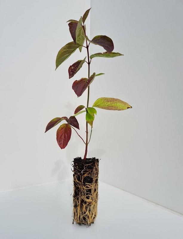 Cell Grown Cornus sanguinea - Common Dogwood