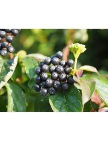 Cornus sanguinea - Common Dogwood berries