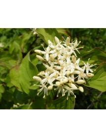Cornus sanguinea - Common Dogwood flowers