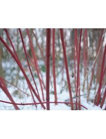 Cornus sanguinea - Common Dogwood bark