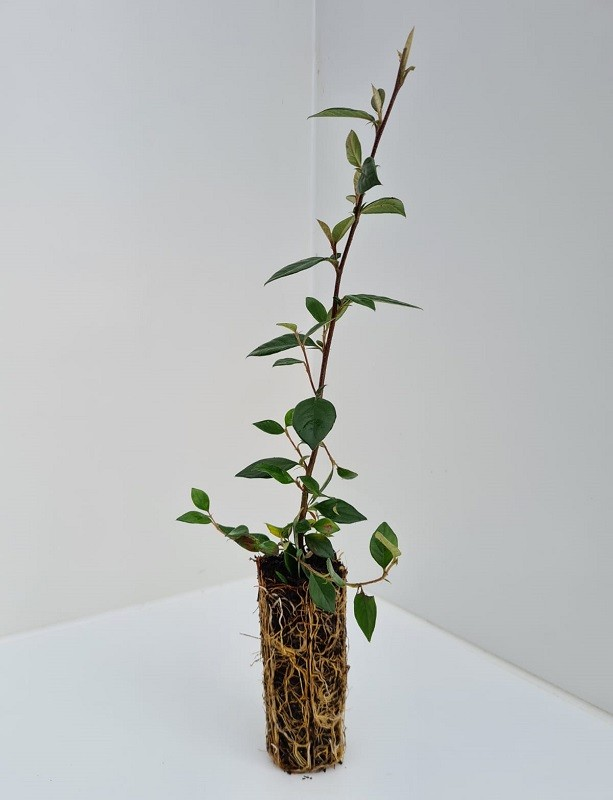 Cell Grown Cotoneaster lacteus - Milkflower Cotoneaster