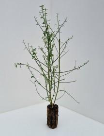 Cell Grown Cytisus scoparius - Broom