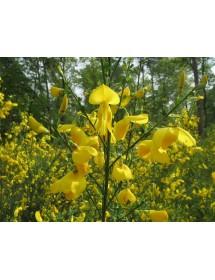Cytisus scoparius - Broom flowers