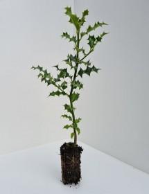 Cell Grown Ilex aquifolium - Holly