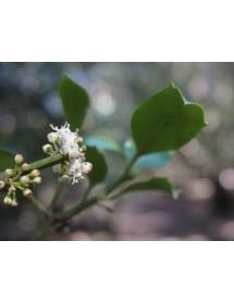 Ilex aquifolium - Holly flowers