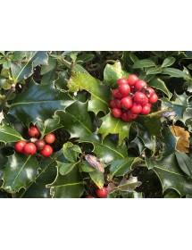 Ilex aquifoulium - Holly berries