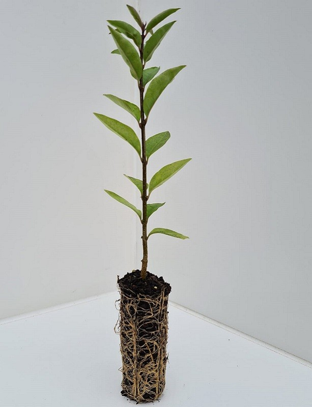 Cell Grown Ligustrum vulgare - Wild Privet