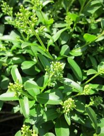 Ligustrum vulgare - Wild privet flower buds