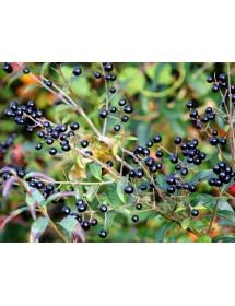 Ligustrum vulgare - Wild Privet berries