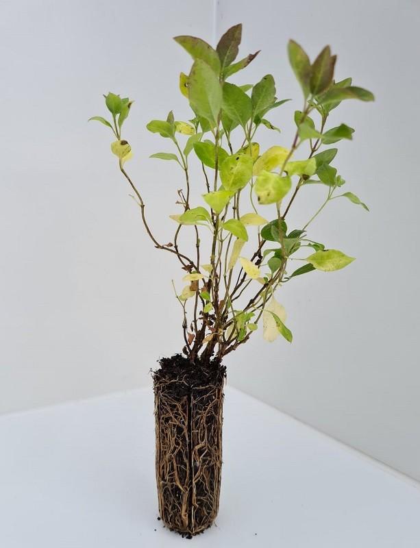 Cell Grown Lonicera periclymenum - Honeysuckle