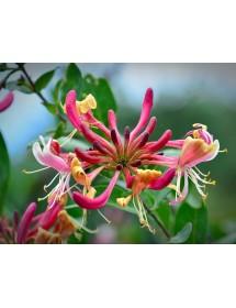 Lonicera periclymenum - Honeysuckle flowers