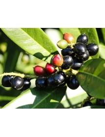Prunus laurocerasus - Cherry Laurel fruit