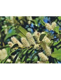 Prunus laurocerasus - Cherry Laurel flowers