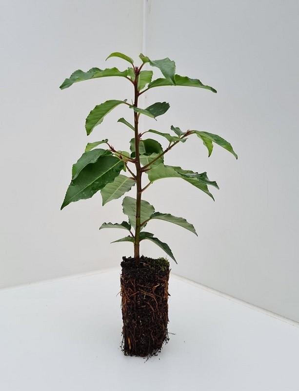 Cell Grown Prunus lusitanica - Portugese Laurel