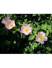 Rosa canina - Dog Rose flowers