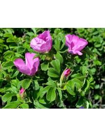 Rosa rugosa - Ramanas Rose flowers