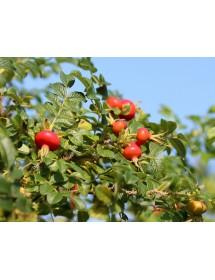 Rosa rugosa alba - Ramanas Rose hips