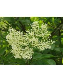 Sambucus nigra - Elder flowers