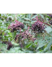 Sambucus nigra - Elder berries