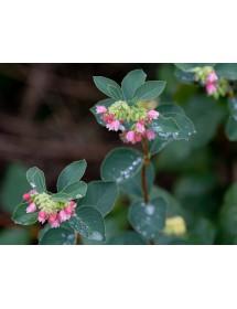 Symphoricarpos albus - Snowberry flowers