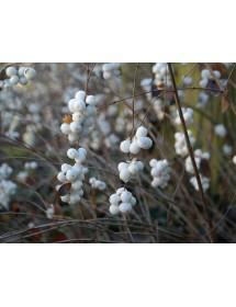 Symphoricarpos albus - Snowberry berries