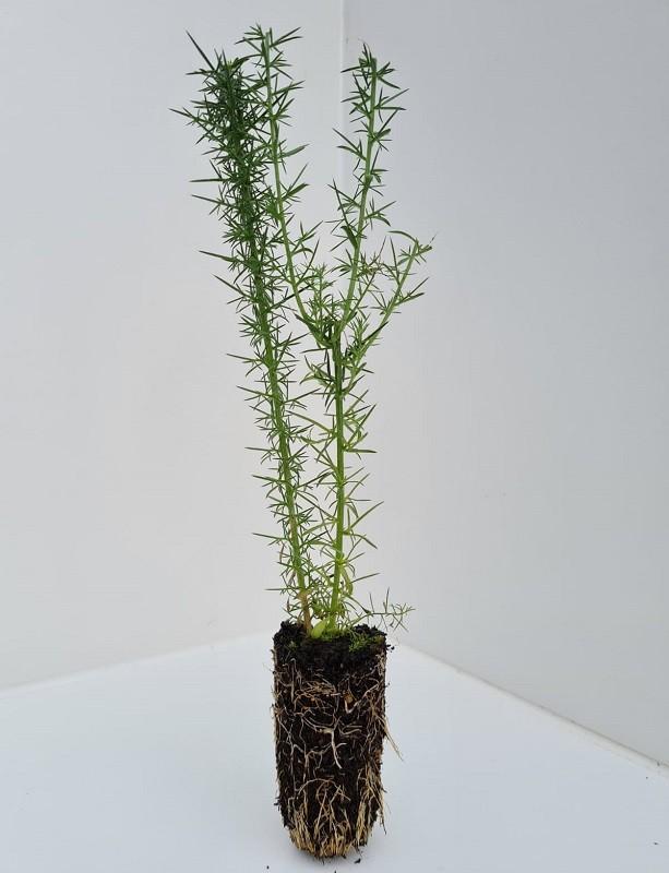 Cell Grown Ulex europeaus - Gorse