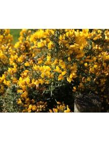 Ulex europeaus - Gorse flowers