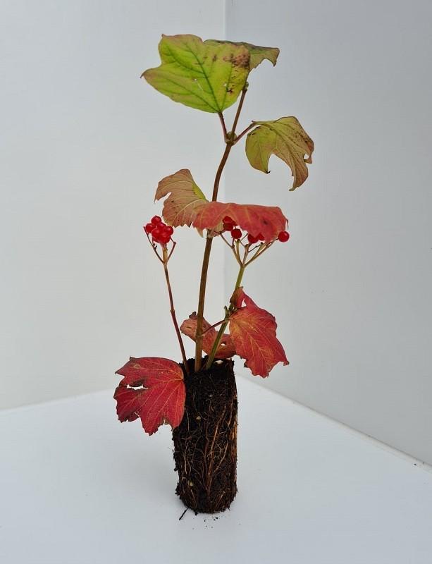 Cell Grown Viburnum opulus - Guelder Rose