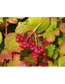 Viburnum opulus - Guelder Rose berries