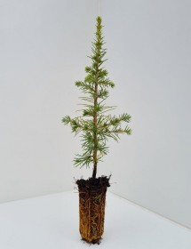 Cell Grown Cedrus atlantica - Atlas Cedar