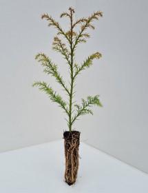 Cell Grown Cryptomeria japonica - Japanese Red Cedar