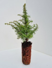 Juniperus communis - Common Juniper