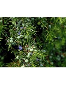 Juniperus communis - Juniper berries