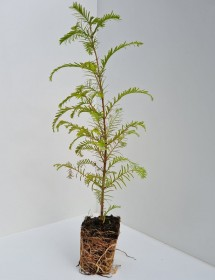 Metasequoia glytostroboides - Dawn Redwood