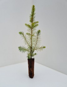 Cell Grown Picea abies - Norway Spruce