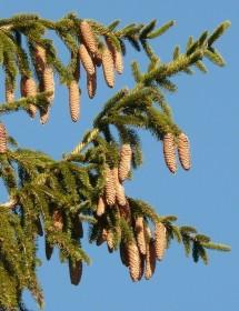Picea abies - Norway Spruce cones
