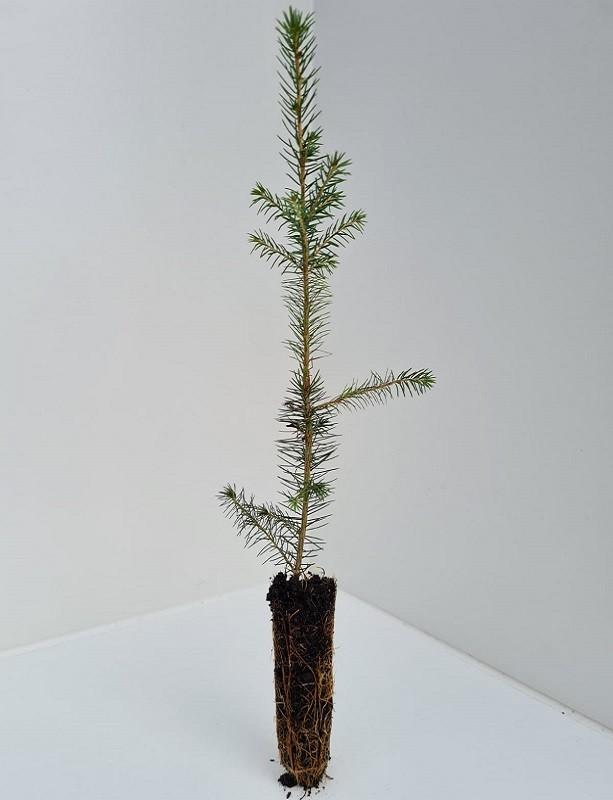 Cell Grown Picea omorika - Serbian Spruce