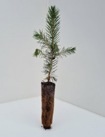 Cell Grown Picea pungens glauca - Blue Spruce