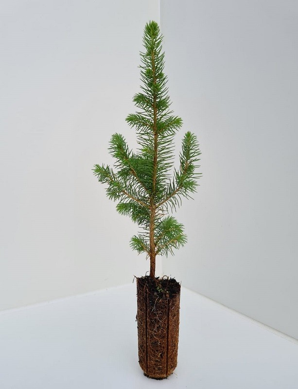 Cell Grown Picea sitchensis - Sitka Spruce