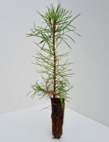 Cell Grown Pinus sylvestris - Scots Pine