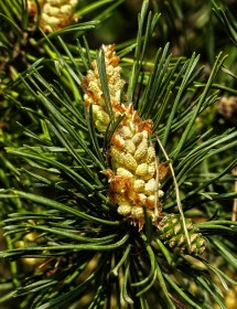 Pinus sylvestris - Scots Pine flowers