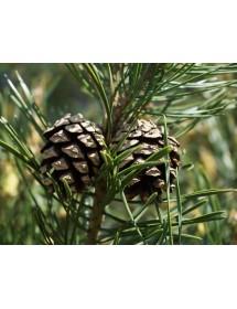 Pinus sylvestris - Scots Pine cones