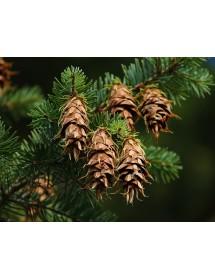Pseudotsuga menziesii - Douglas Fir cones