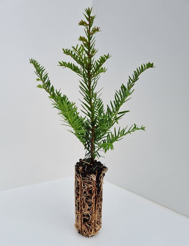 Cell Grown Taxus baccata - Yew