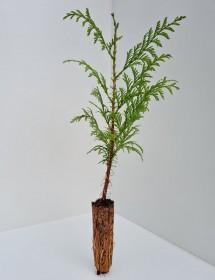 Cell Grown Thuja plicata - Western Red Cedar