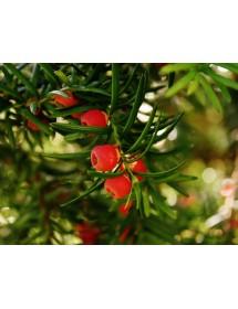 Taxus baccata - Yew berries