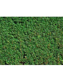Taxus baccata - Yew hedge