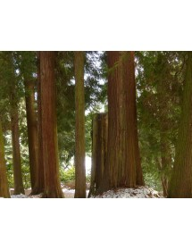 Thuja plicata - Western Red Cedar bark