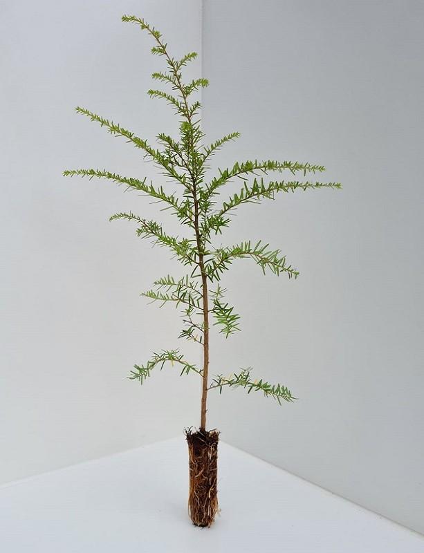 Cell Grown Tsuga heterophylla - Western Hemlock